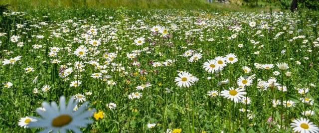 W Sanoku powstają kolejne łąki kwietne
